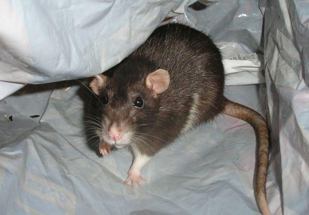 Tipps Gegen Ratten Im Haus So Hat Die Plage Schnell Ein Ende