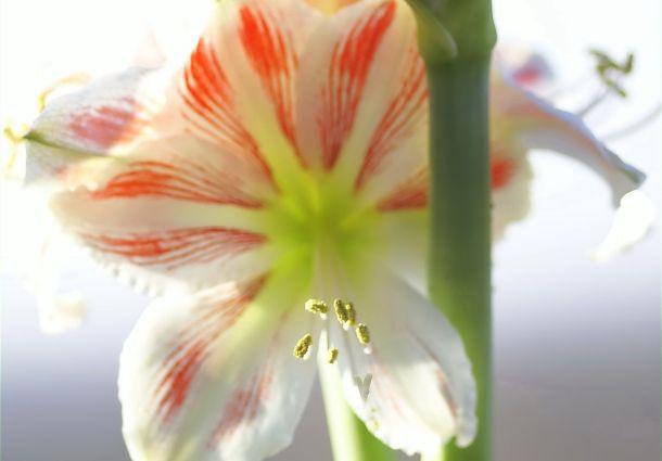 Trendblume Amaryllis So Wird Sie Auch Im Nächsten Winter Blühen