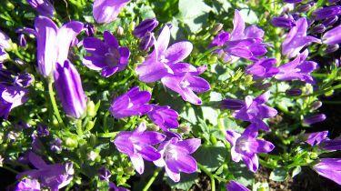 Eifrige Blumen Für Den Schatten